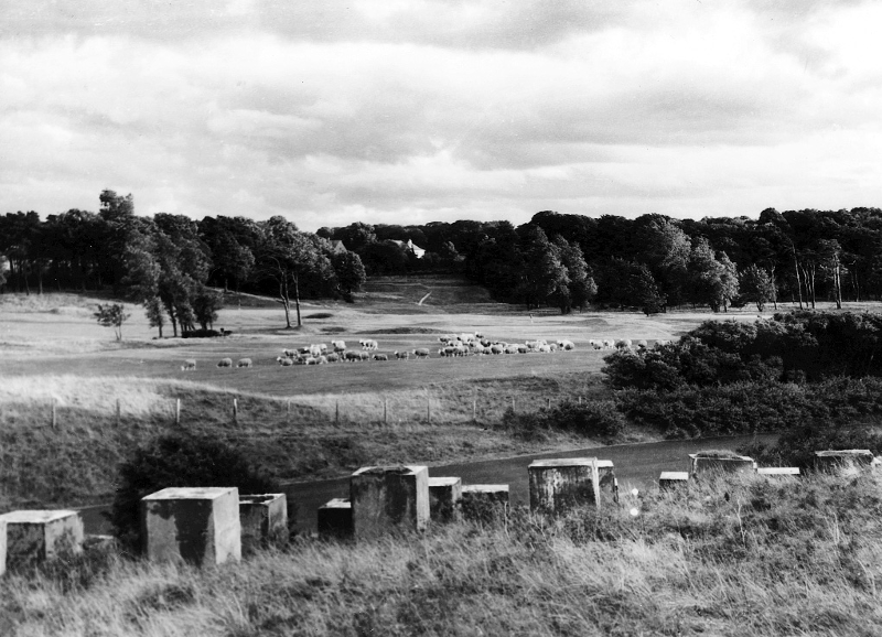 Longniddry Golf Course, 1950s, with a flock of resident sheep. The tank traps in the foreground were supposed to hinder any German invasion in the second world war. Almost all have now been removed (A&J Gordon)